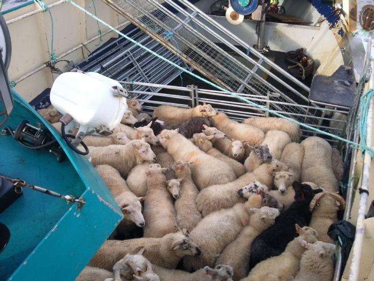 Sheep leaving Linga Holm
