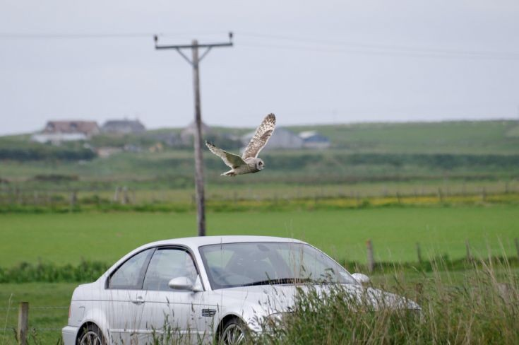 Shorteared Owl vs. BMW