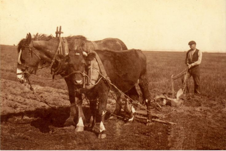 Ploughing in South Walls with horse and ox