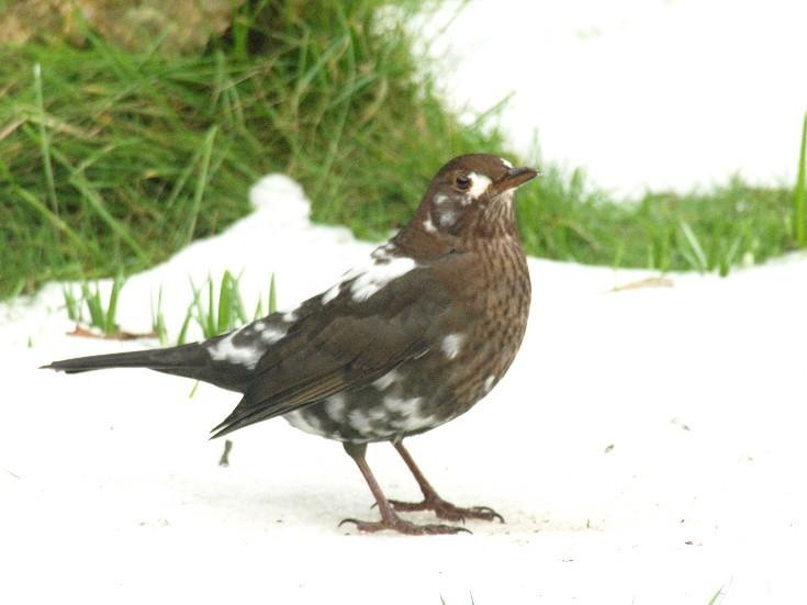 Alleged blackbird