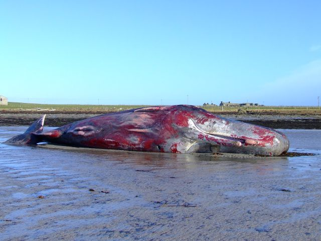 male sperm whale at Tuquoy Westray