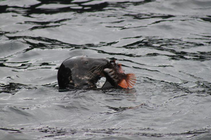 Seal eating