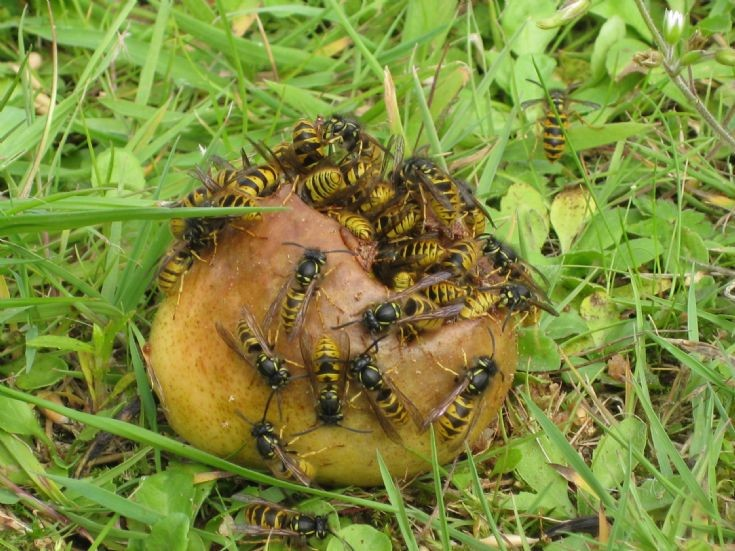 Wasps with a sweet tooth!