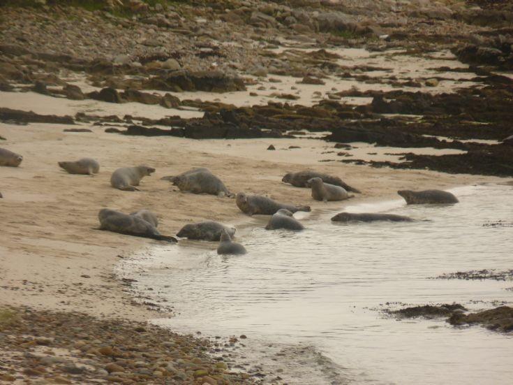 Stronsay seals