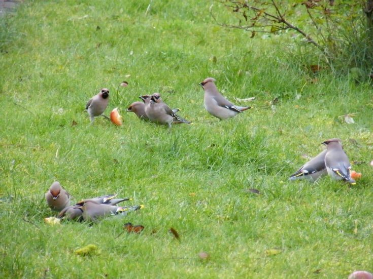 Waxwings in Kirkwall