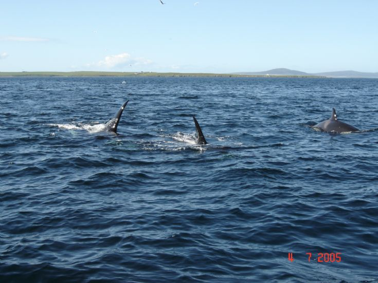 Orca whales at the Galt