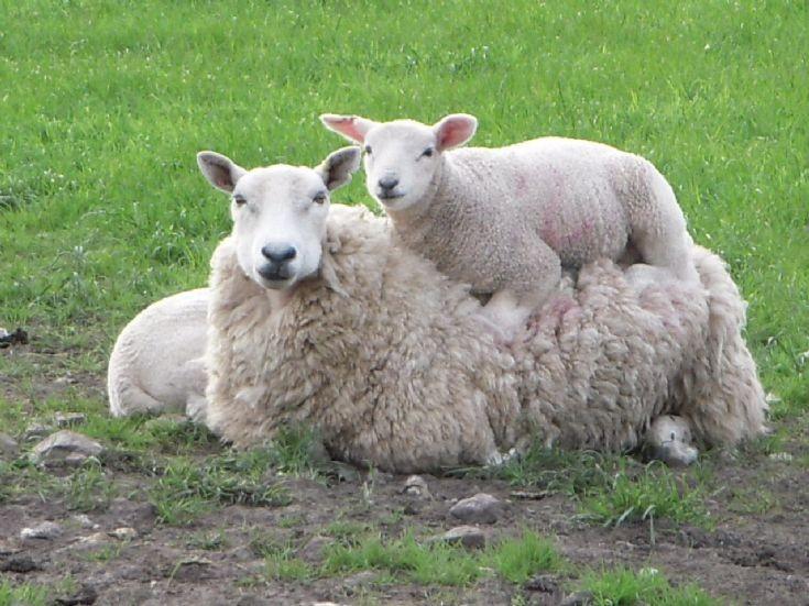Shapinsay sheep 2009