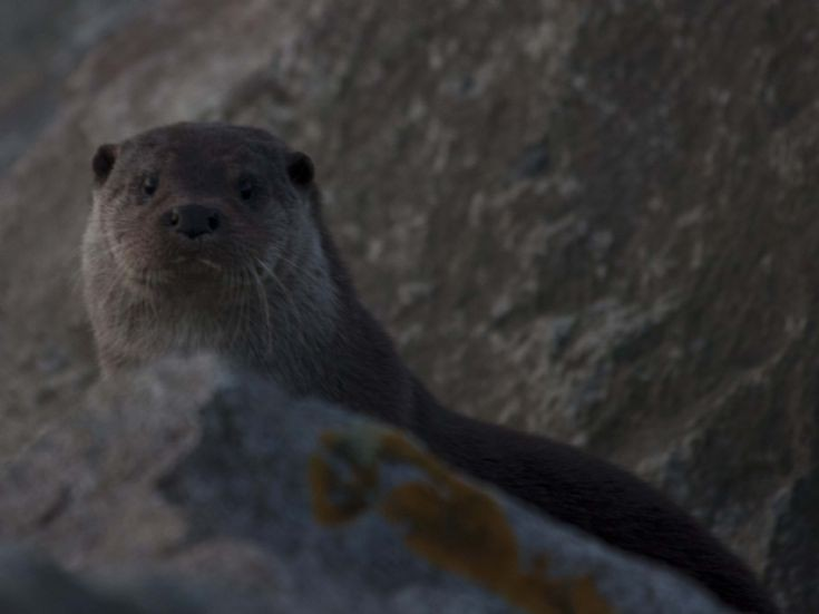 Another Sanday otter