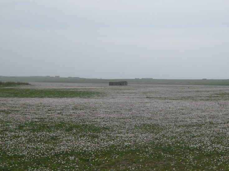 Daisy field in Tankerness