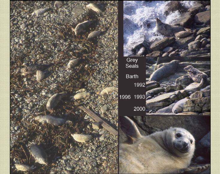 Barth Head seals