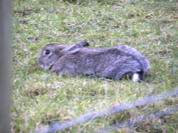 Hare?