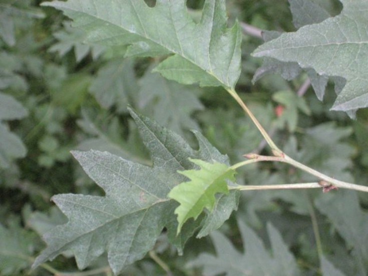 Cut-leaved alder: Alnus incana 'Laciniata'