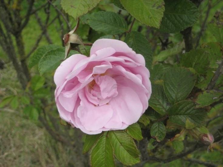 Rose 'Sarah van Fleet'