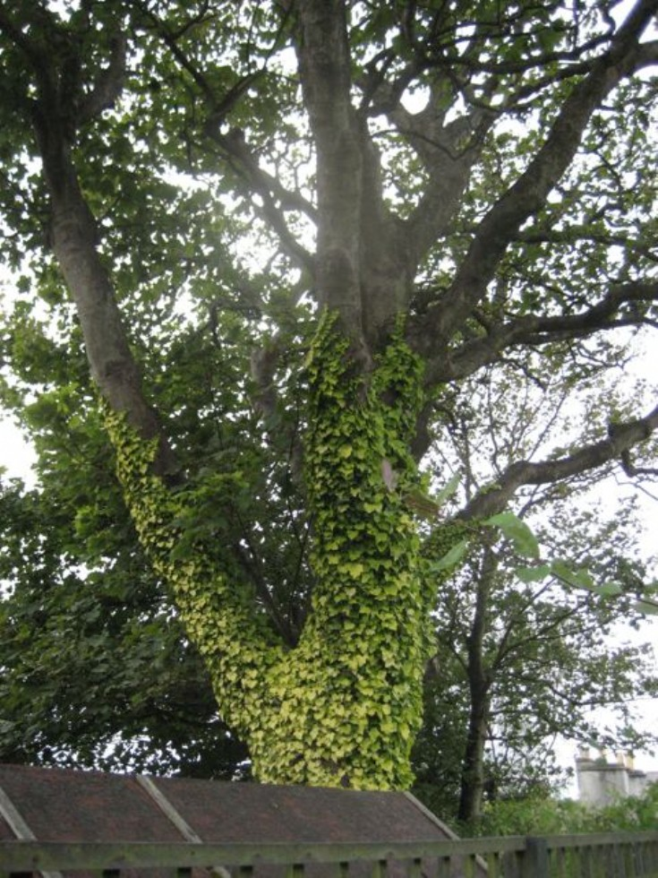 Ivy,possibly Hedera helix 'Buttercup'