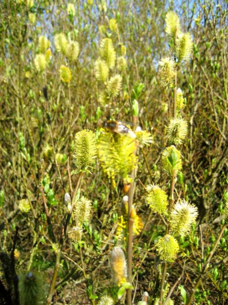 Tea-leaved willow