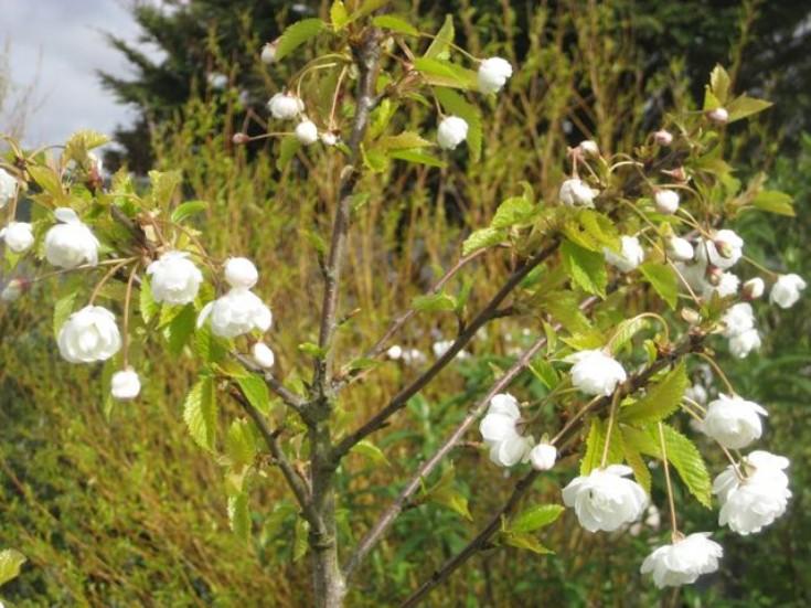 Double cherry Prunus avium 'Plena'