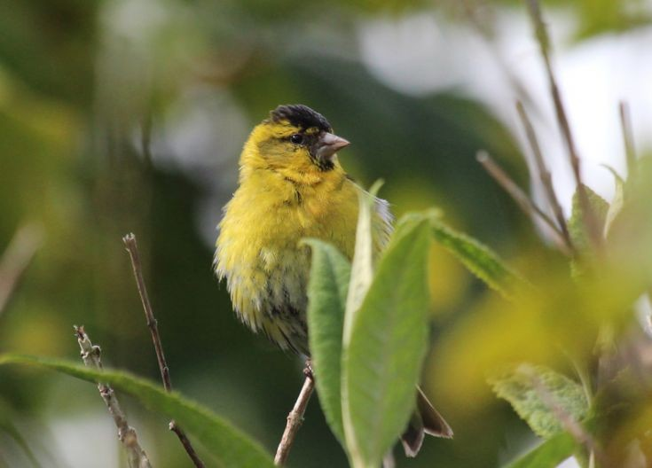 Male Siskin seen at Rinnigal