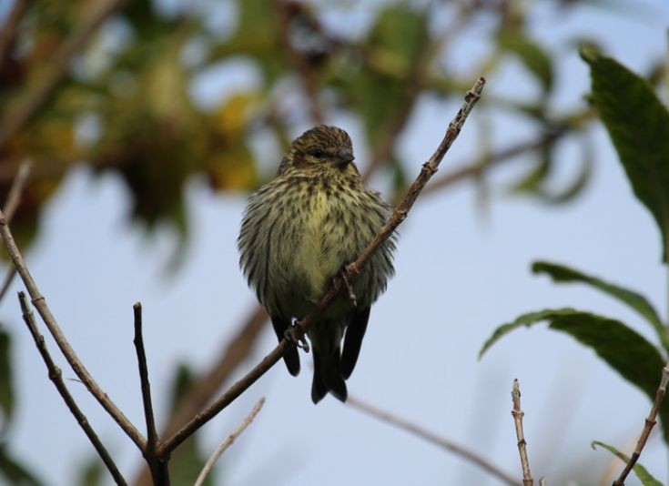 Female Siskin - seen at Rinnigal