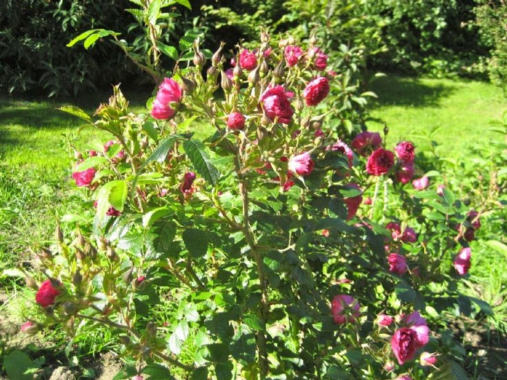 Red Grootendorst rose