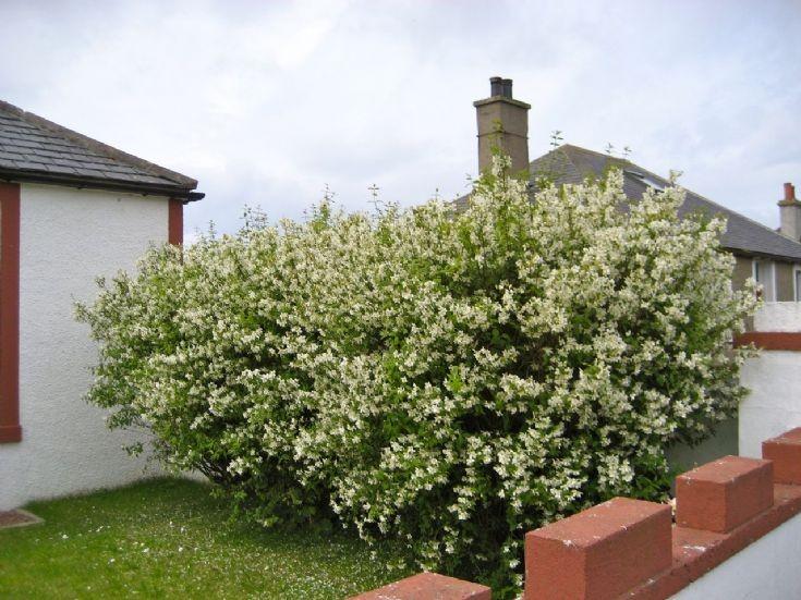 Philadelphus grown as a hedge