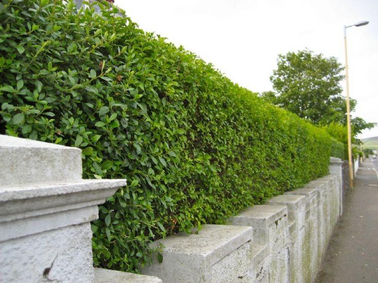 Privet hedge in Kirkwall