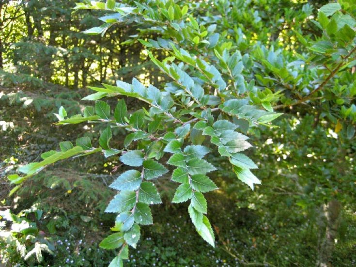 Leaves of Nothofagus dombeyi