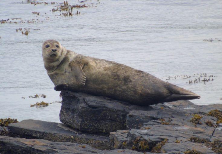 Stricken Seal