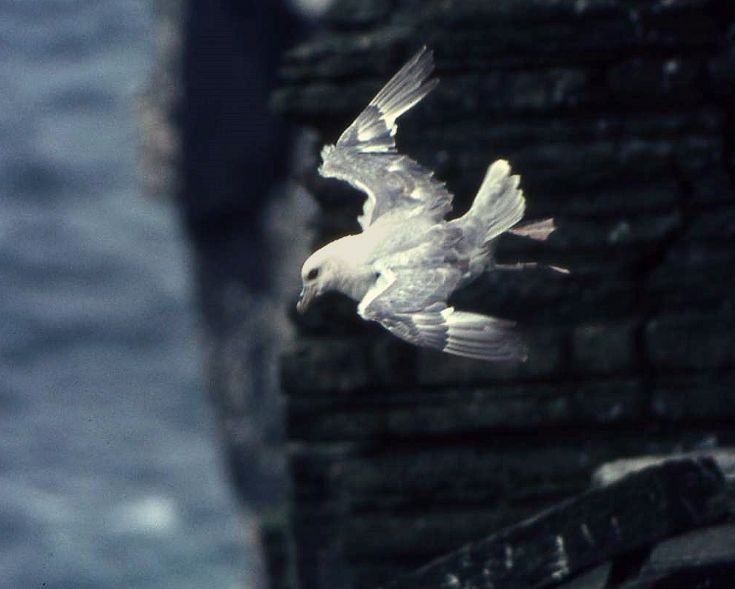 Fulmar riding the updraught at Marwick Head