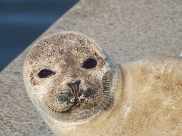 Seal at Kirkwall