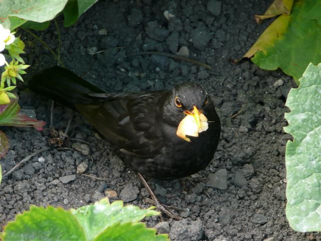 Blackbird Feeding Time