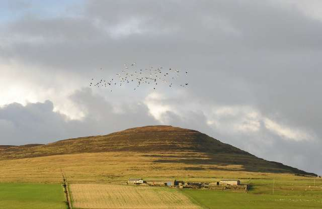 Lapwings over Rousay