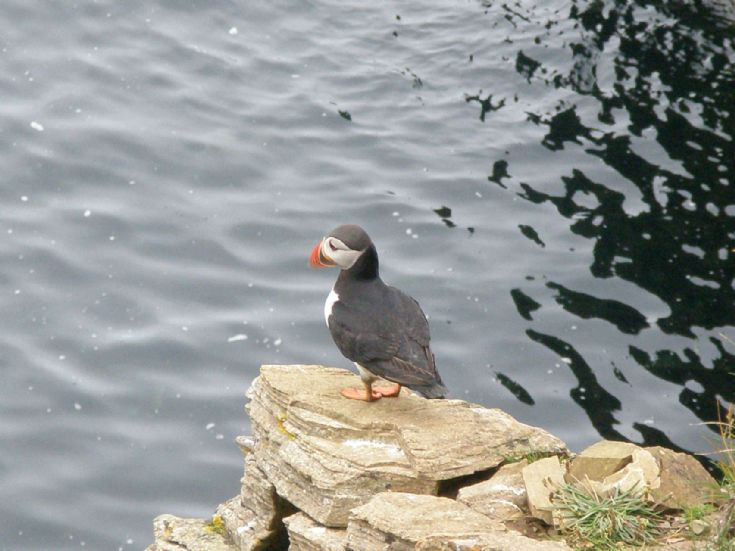 Puffin - Westray July 2007