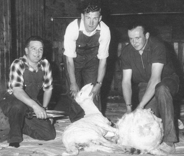 1964-1966, sheep shearing competition at mart