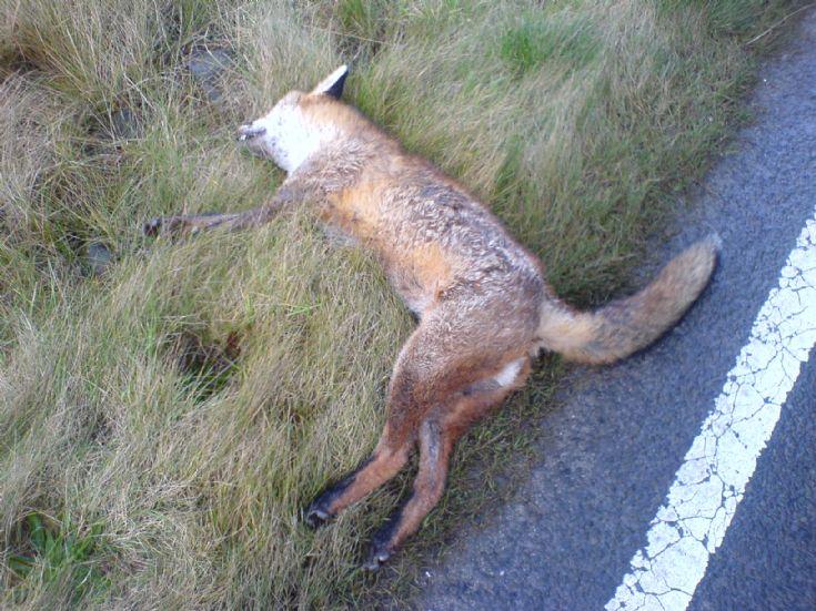 Orkney Fox again