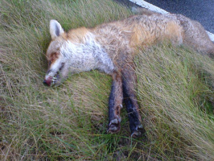 Orkney Fox again again