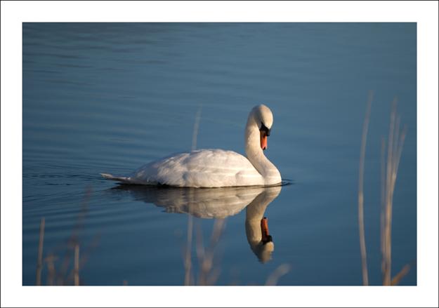 Swan On Harray Loch