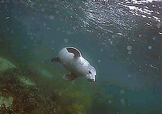 Grey Seal at the Barrel of Butter, Scapa Flow II