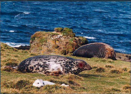 Grey Seal Family