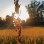 Kuvassa vilja, jonka välistä paistaa aurinko