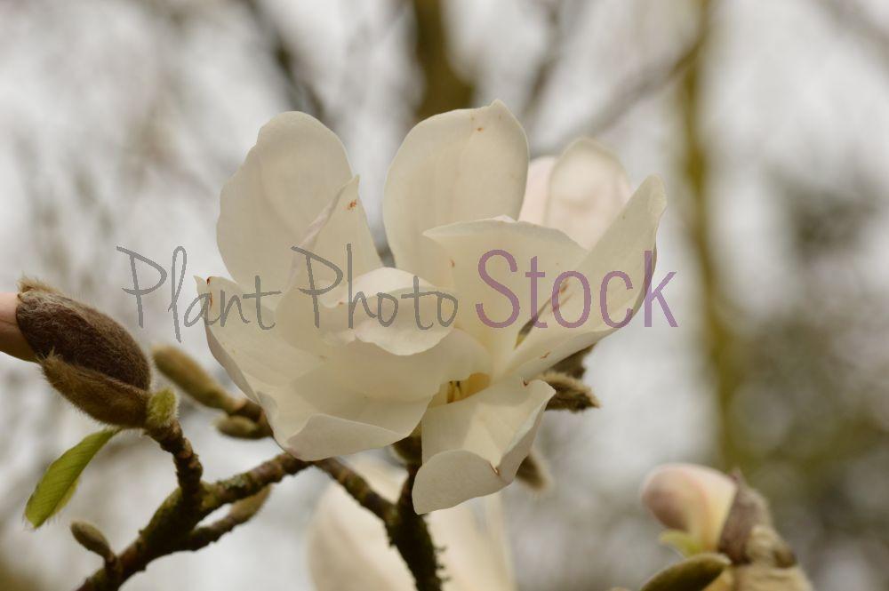 Magnolia Loebneri Merrill 0967 Plant Photo Stockplant Photo Stock