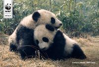 Panda1 1