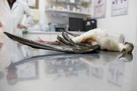 2014.04.10 black winged stilt shot rupertmasefield smaller