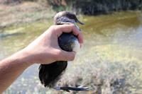 2014.09.13 black necked grebe release simar timmymicallef smaller