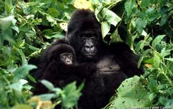Mountain gorilla %c2%a9 timothy gear  wwf canon copy