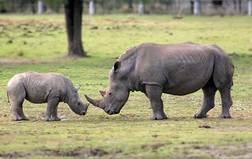 White rhino2