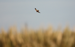 2014.04.18 marsh harrier male rogerl cropped