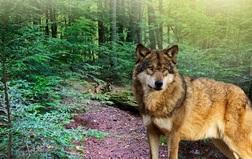 Habitatshotsandanimals easternwolf