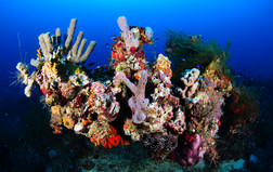 Coral gulf expedition oceana eduardosorensen 039 1