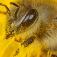Ausstellung: Bienen – die Bestäuber der Welt