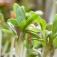 Wissenschaft im Rathaus: Gentechnik 2.0 - Eine Goldgrube für die Pflanzenzüchtung?